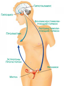 Женские органы
