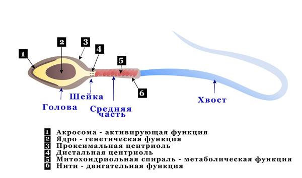 Схема тератозооспермии